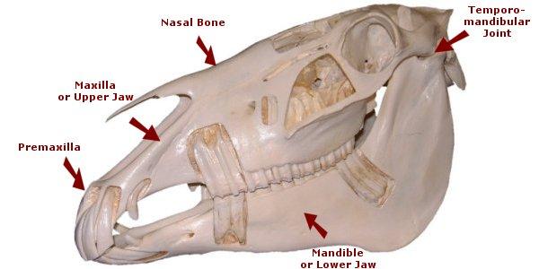 head_bones